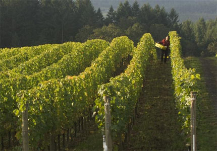 Harvest season at Archery Summit Winery in Willamette Valley