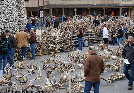 The Elk Antler Auction at ElkFest in Jackson Hole, Wyoming