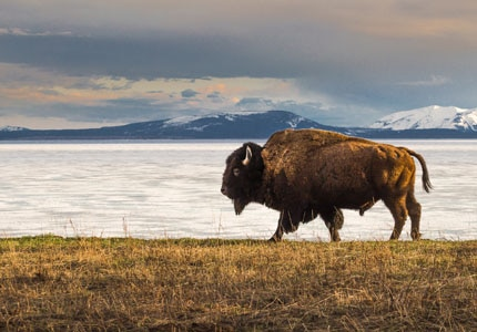 A bison roaming the grounds of Yellowstone National Park, bordering Wyoming and Montana, one of GAYOT's Top 10 U.S. National Parks