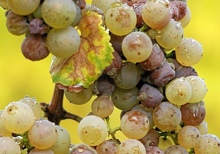 Botrytis cinerea on Riesling grapes in Rheingau, Germany. Photo by Tom Maack