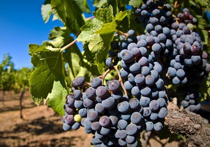 Pinot Grigio grapes prior to harvest