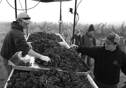Bringing in the harvest at Chamisal Vineyards in San Luis Obispo County, California