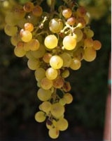 The varietals we enjoy today have mainly developed from one species of grape, making them very susceptible to disease