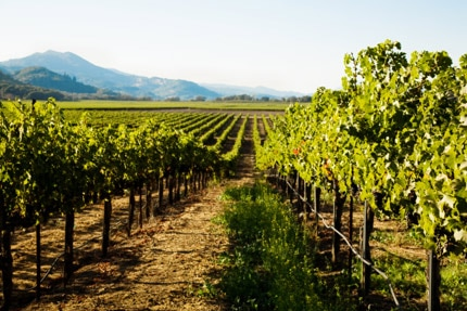 Domaine Chandon's Yountville Vineyard