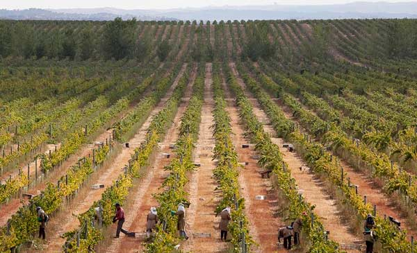 Rows of grapevines at Esporao Winery in Portugal