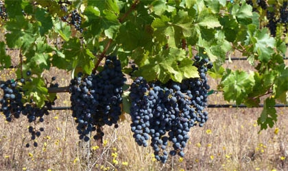 Cabernet Sauvignon grapes in the Monte Bello vineyard in California