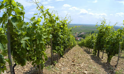The vineyards of Chateau Dereszla in Tokaj, Hungary