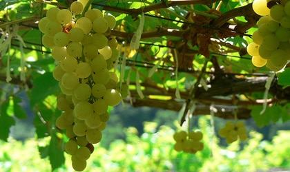 Chenin blanc grapes