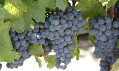 Malbec grapes are traditionally grown in Bordeaux, but they are also harvested in the Loire, Cahors, Mediterranean and California