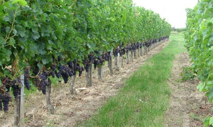 Merlot grapes growing the French wine region of Bourg AOC on the right bank of Bordeaux.