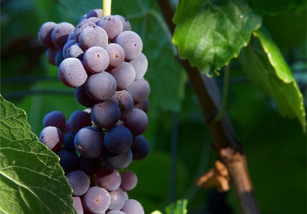 While highly coveted, Mourvèdre wines can be difficult to produce
