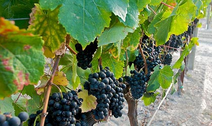 Petit Verdot grapes (photo by Eric Hwang)