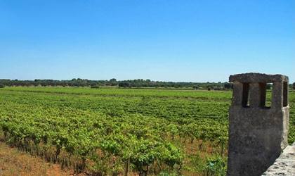 The vineyards of Feudi di San Marzano in Apulia, Italy