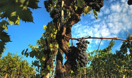 Sangiovese grapevine in the Chianti wine region of Tuscany