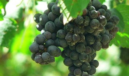 A cluster of Shiraz grapes