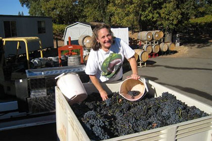 Gathering grapes at Acorn Winery in the Russian River Valley