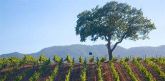 br cohn vineyard