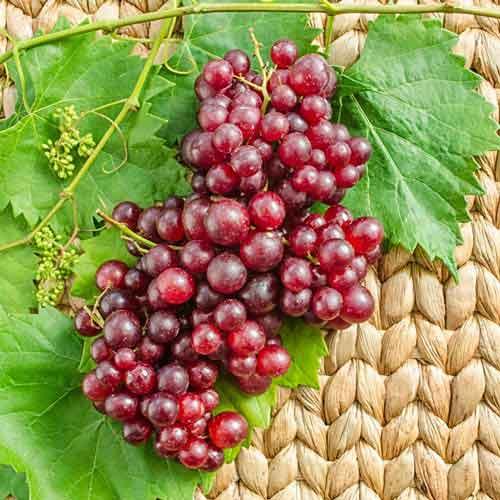 Catawba grape