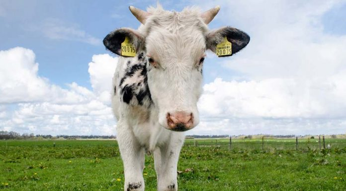 Learn about types of cattle such as Wagyu and Angus