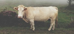 Learn about Certified Piedmontese beef