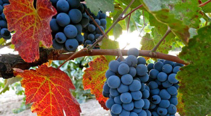 Charbono grapes