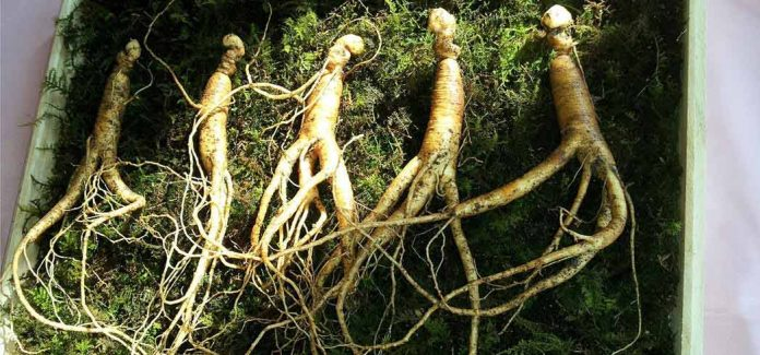 Athletes swear by ginseng as a strength and endurance booster