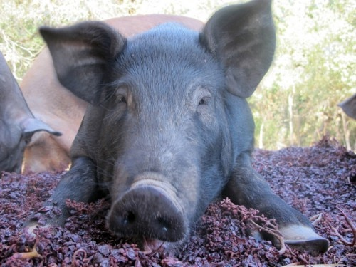 Pigs at Zazu Farm feed on tasty grapes (Photo credit: Zazu Farm)