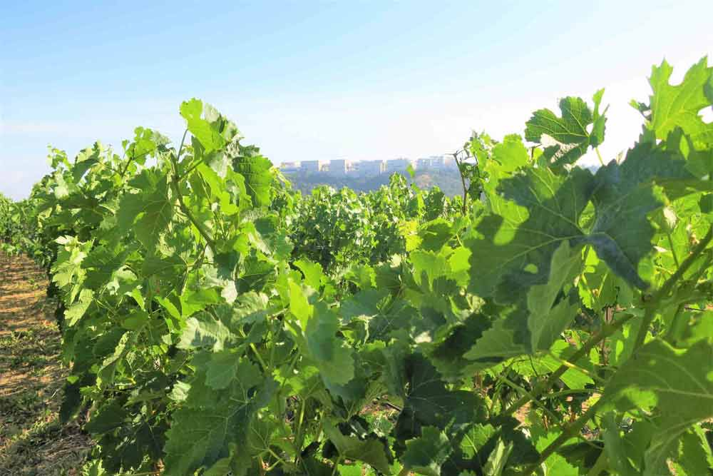 Moraga Bel Air Winery Rupert Murdoch