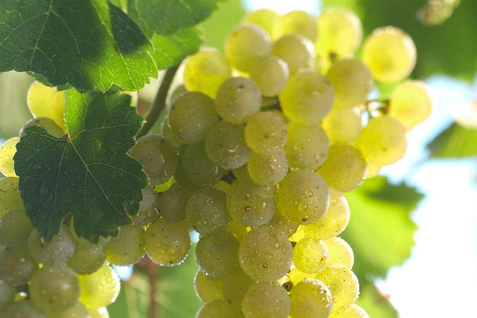 Riesling grape varietal