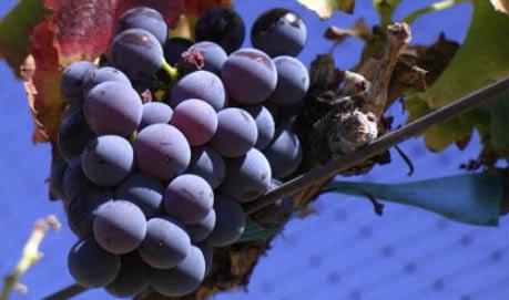 Grenache Wine Grapes