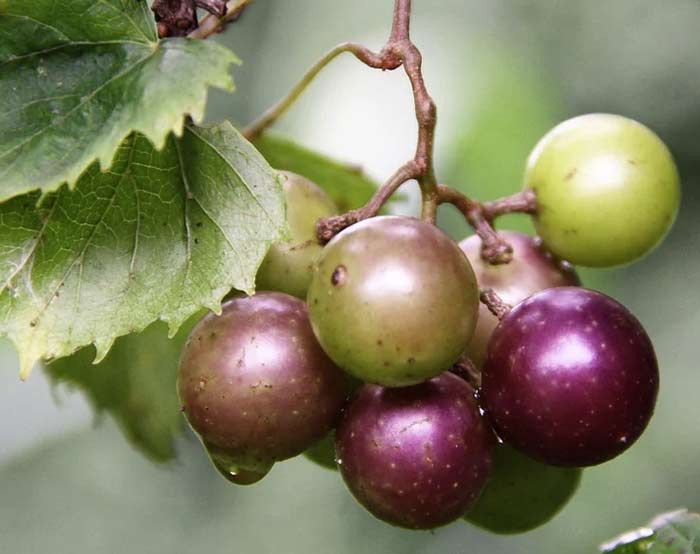 Muscadine Wine Grape