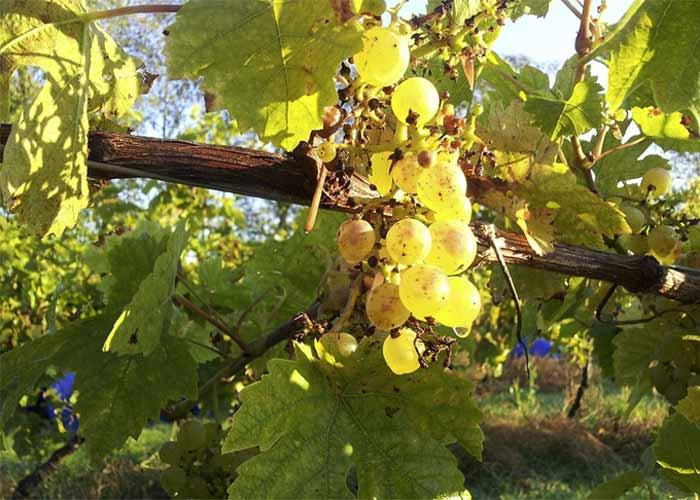 Seyval Blanc grapes