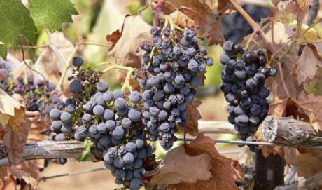 Zinfandel grapes
