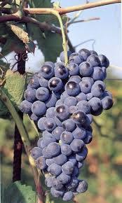 Aglianico grape varietal