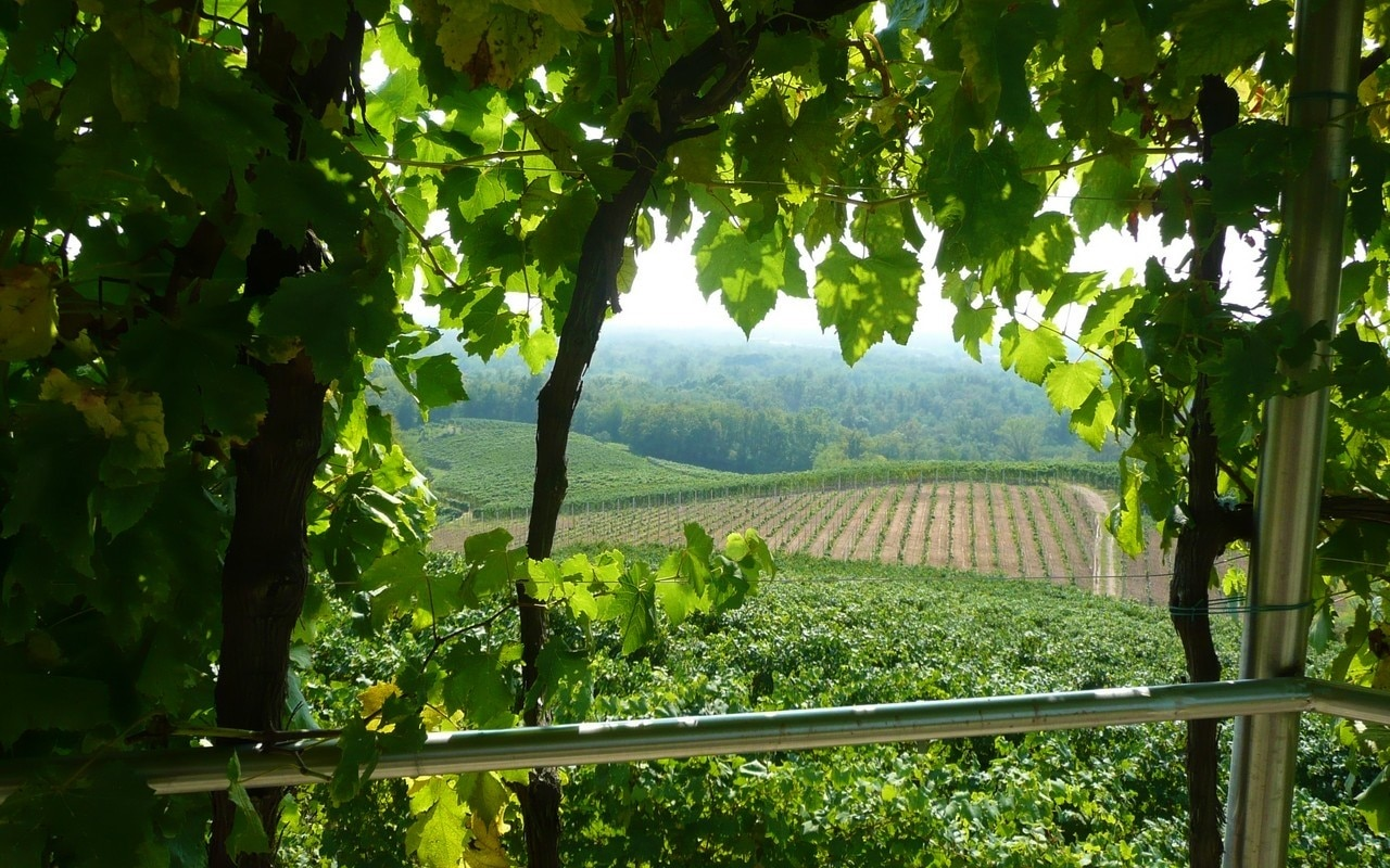 Travaglini Gattianara vineyards