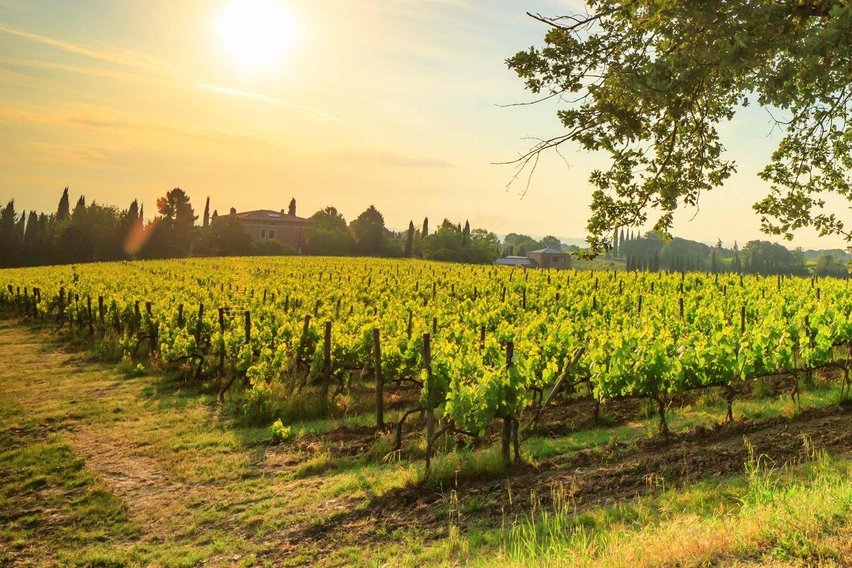 Poliziano vineyards