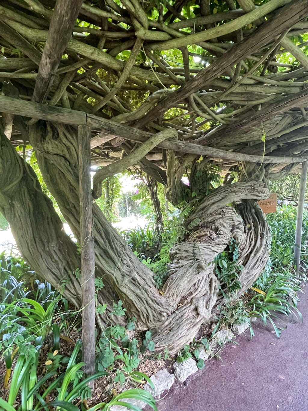 Wisteria roots