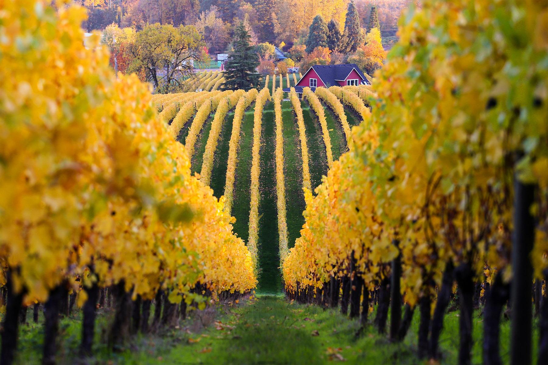 Sokol Blosser Müller-Thurgau vineyards | Dundee Hills, Oregon